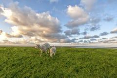 Πρόβατα και αρνί Στοκ Φωτογραφία