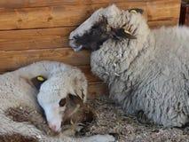 Πρόβατα και αρνί φιλμ μικρού μήκους
