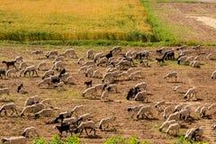 Πρόβατα και αρνιά σε ένα λιβάδι στοκ εικόνα