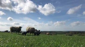 Πρόβατα και αρνιά την άνοιξη απόθεμα βίντεο