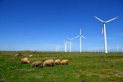 Πρόβατα και κριοί στον τομέα στοκ φωτογραφίες