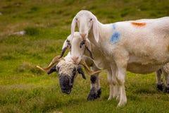 Πρόβατα και κριοί Στοκ φωτογραφία με δικαίωμα ελεύθερης χρήσης