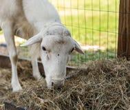Πρόβατα και μύγα Στοκ Εικόνες