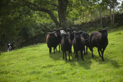 Πρόβατα και τσοπανόσκυλο Hebridean Στοκ φωτογραφία με δικαίωμα ελεύθερης χρήσης