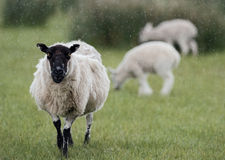 Πρόβατα και δύο αρνιά στη βροχή Στοκ φωτογραφία με δικαίωμα ελεύθερης χρήσης