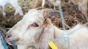 Πρόβατα και Dorset στο αγρόκτημα Στοκ Εικόνες