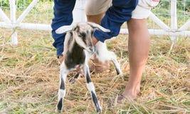 Πρόβατα και Dorset στο αγρόκτημα Στοκ Φωτογραφίες