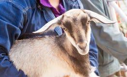 Πρόβατα και Dorset στο αγρόκτημα Στοκ εικόνες με δικαίωμα ελεύθερης χρήσης