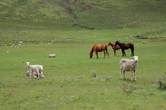 πρόβατα κατά τη βοσκή αλόγω& Στοκ Εικόνες