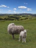 πρόβατα κατά τη βοσκή αρνιών Στοκ Φωτογραφία