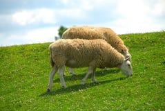 πρόβατα κατά τη βοσκή βουνοπλαγιών Στοκ Εικόνες