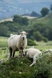 Πρόβατα κατά τη βοσκή και που στοκ εικόνες με δικαίωμα ελεύθερης χρήσης