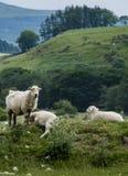Πρόβατα κατά τη βοσκή και που στοκ φωτογραφία με δικαίωμα ελεύθερης χρήσης