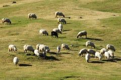 πρόβατα κατά τη βοσκή κοπαδιών Στοκ Εικόνες