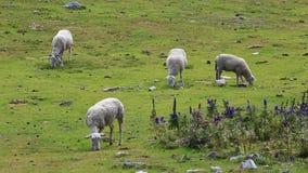πρόβατα κατά τη βοσκή φιλμ μικρού μήκους