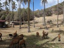 Πρόβατα κατά τη βοσκή μεταξύ των δέντρων καρύδων στις Γρεναδίνες απόθεμα βίντεο