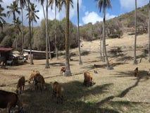 Πρόβατα κατά τη βοσκή μεταξύ των δέντρων καρύδων στις Γρεναδίνες φιλμ μικρού μήκους