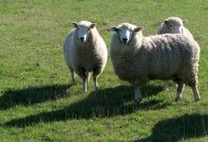 πρόβατα κατά τη βοσκή πεδίων Στοκ Εικόνες