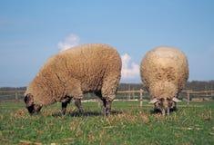 Πρόβατα κατά τη βοσκή σε ένα λιβάδι Στοκ εικόνα με δικαίωμα ελεύθερης χρήσης