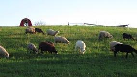 Πρόβατα κατά τη βοσκή σε ένα λιβάδι απόθεμα βίντεο