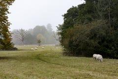 Πρόβατα κατά τη βοσκή σε ένα κτήμα χωρών στοκ εικόνες