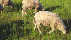 Πρόβατα κατά τη βοσκή σε ένα λιβάδι φιλμ μικρού μήκους