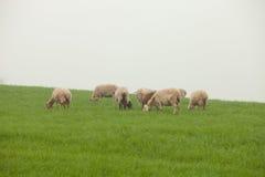 Πρόβατα κατά τη βοσκή σε ένα πράσινο λιβάδι Στοκ Φωτογραφίες
