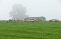Πρόβατα κατά τη βοσκή σε ένα πράσινο λιβάδι Στοκ Εικόνες