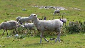 Πρόβατα κατά τη βοσκή - σε αργή κίνηση φιλμ μικρού μήκους