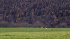 Πρόβατα κατά τη βοσκή στα φθινοπωρινά λιβάδια απόθεμα βίντεο