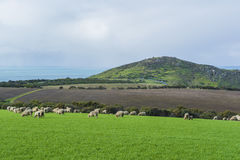 Πρόβατα κατά τη βοσκή στη γεωργική γη κοντά στην παραλία βασιλιάδων, Νότια Αυστραλία PA Στοκ εικόνες με δικαίωμα ελεύθερης χρήσης