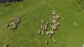 Πρόβατα κατά τη βοσκή στον πολύβλαστο τομέα στα βουνά, αναπαραγωγή βοοειδών, οργανική παραγωγή προϊόντων φιλμ μικρού μήκους