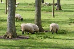 Πρόβατα κατά τη βοσκή στον τομέα στην αγγλική επαρχία Στοκ φωτογραφία με δικαίωμα ελεύθερης χρήσης