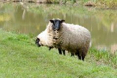 Πρόβατα κατά τη βοσκή στον τομέα στην αγγλική επαρχία Στοκ Φωτογραφία