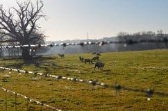 Πρόβατα κατά τη βοσκή στον τομέα του Σάσσεξ Στοκ εικόνα με δικαίωμα ελεύθερης χρήσης