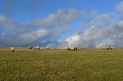 Πρόβατα κατά τη βοσκή στον τομέα του Σάσσεξ Στοκ Εικόνα