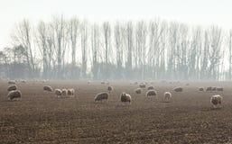 Πρόβατα κατά τη βοσκή στους φυσικούς τομείς στην Ουαλία, UK στοκ εικόνα με δικαίωμα ελεύθερης χρήσης