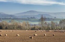 Πρόβατα κατά τη βοσκή στους φυσικούς τομείς στην Ουαλία, UK στοκ εικόνες με δικαίωμα ελεύθερης χρήσης