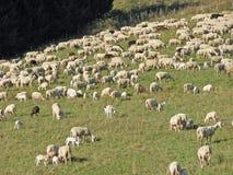 Πρόβατα κατά τη βοσκή στο βουνό σε έναν χορτοτάπητα Στοκ Φωτογραφία