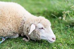 Πρόβατα κατά τη βοσκή στο λιβάδι Στοκ Φωτογραφία