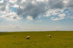 Πρόβατα κατά τη βοσκή στο λιβάδι Στοκ φωτογραφία με δικαίωμα ελεύθερης χρήσης