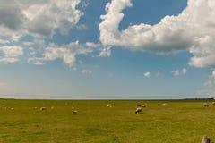 Πρόβατα κατά τη βοσκή στο λιβάδι Στοκ εικόνες με δικαίωμα ελεύθερης χρήσης