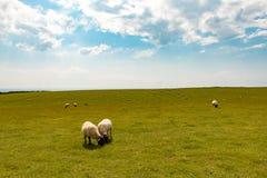 Πρόβατα κατά τη βοσκή στο λιβάδι Στοκ Εικόνες