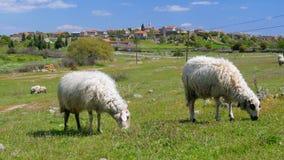 πρόβατα κατά τη βοσκή στο χωριό στην πράσινη χλόη, assos, canakkale, Τουρκία απόθεμα βίντεο