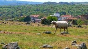 πρόβατα κατά τη βοσκή στο χωριό στην πράσινη χλόη, assos, canakkale, Τουρκία φιλμ μικρού μήκους