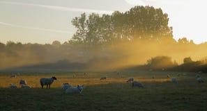 Πρόβατα κατά τη βοσκή στο misty πρωί στοκ εικόνα με δικαίωμα ελεύθερης χρήσης