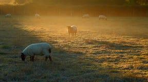 Πρόβατα κατά τη βοσκή στο misty πρωί στοκ εικόνες