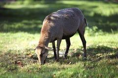 Πρόβατα κατά τη βοσκή του Καμερούν Στοκ Φωτογραφίες