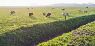 Πρόβατα κατά τη βοσκή το χαμηλό απόγευμα αναδρομικά φωτισμένο Στοκ φωτογραφίες με δικαίωμα ελεύθερης χρήσης