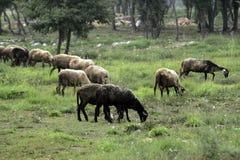 πρόβατα κατά τη βοσκή Στοκ φωτογραφία με δικαίωμα ελεύθερης χρήσης
